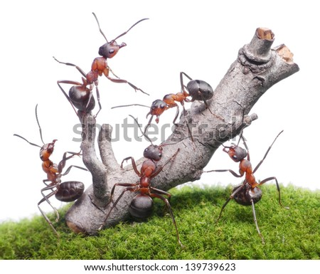 ants bring down weathered tree, teamwork isolated on white background
