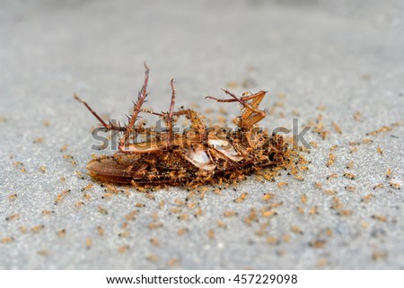 Ants eating a dead cockroach . - stock photo