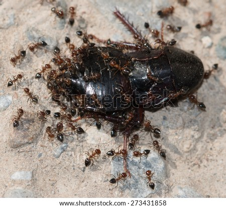 ants eating beetle - stock photo