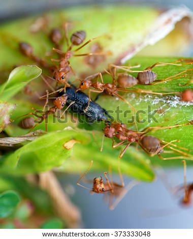 Ants eating beetle on the leaf