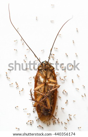 Ants feed on the carcasses cockroach on white background - stock photo
