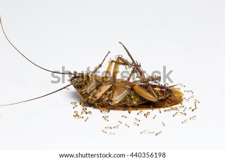 Ants feed on the carcasses cockroach on white background