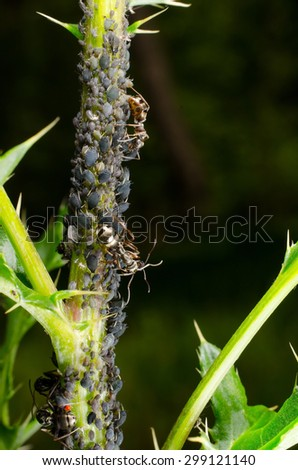 ants herd black bean aphids - stock photo