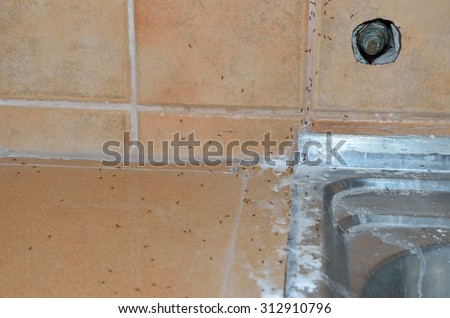 ants on kitchen sink treated with biological powder ants on kitchen sink treated biological stock photo 312910796      rh   shutterstock com