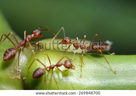 Ants walk on twigs in the garden of Thailand. - stock photo