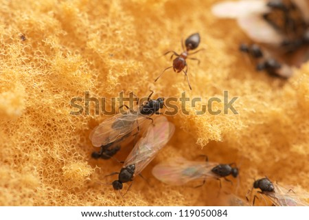 ants with wings - stock photo