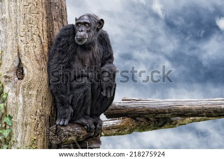 Ape chimpanzee monkey looking at you