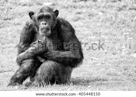 Ape chimpanzee monkey looking at you in black and white - stock photo