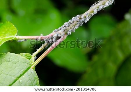 aphid colony - stock photo