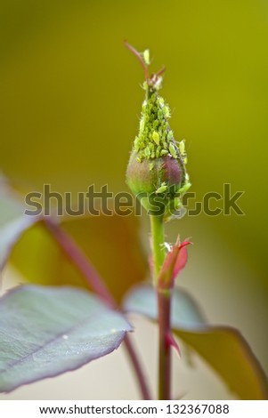 Aphid on rose bush - stock photo