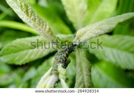 aphids! - stock photo