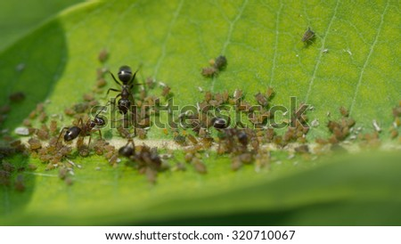 Aphids feed on the plant sap of a Common Milkweed plant while a colony of ants collect honeydew from the aphids like farm animals.