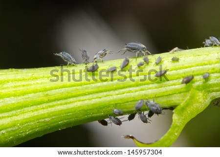 Aphids on a plant stem - stock photo