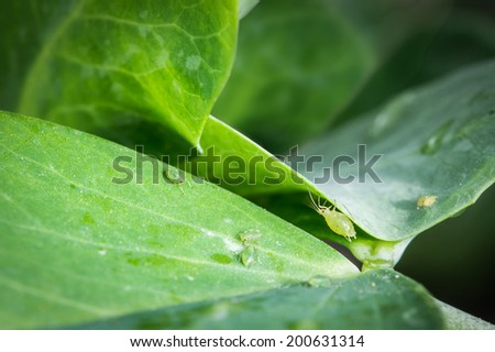 Aphids on pea leaves. Selective focus. - stock photo