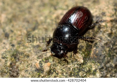 Aphodius depressus dung beetle. Insect in the family Scarabaeidae, commonly found in cow pats