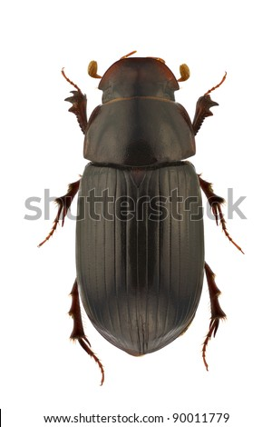 Aphodius rufipes, dung beetle, isolated on a white background - stock photo