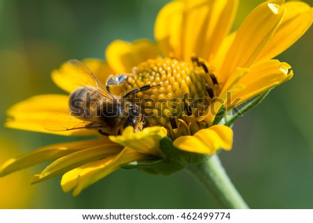 apis mellifera honey bee on bright yellow flower collecting nectar before returning to the hive with the other drones