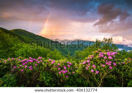 Appalachian Mountains Scenic Spring Flowers Landscape Blue Ridge Parkway North Carolina featuring blooming catawba rhododendron near Asheville, NC