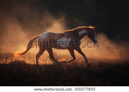 Appaloosa horse run in the gold dust
