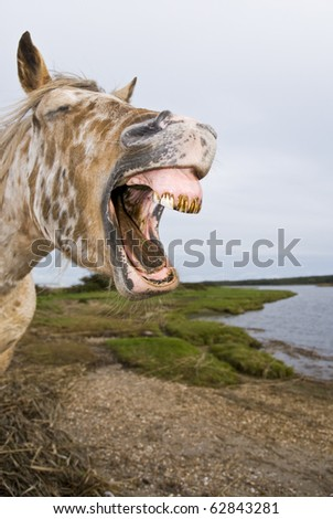 appaloosa horse yawning in comical way.