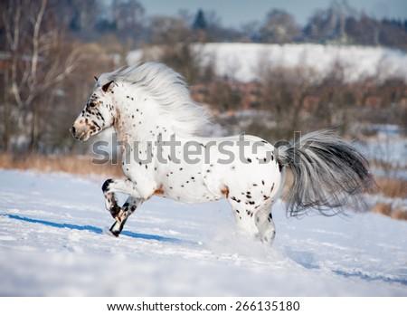 appaloosa pony runs free through the winter field - stock photo