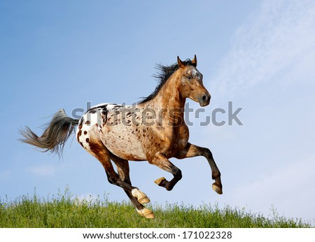 appaloosa stallion - stock photo