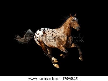 appaloosa stallion - stock photo