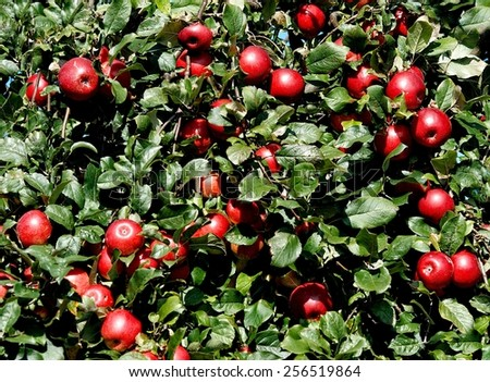 Apple background, grunge apple background, apples in the autumn, nature texture, many apples in autumn time, vitamins food, fresh fruits - stock photo
