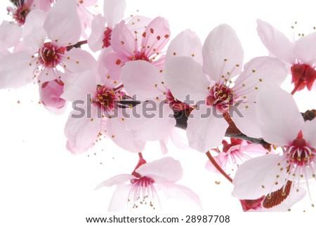 Apple Blooms - stock photo