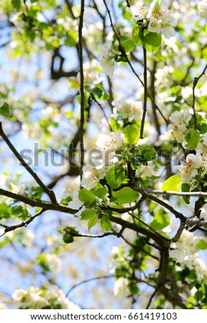 Apple Blossom Branches Background