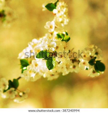 Apple blossom close-up with backgrounds toward yellow. Shallow depth of field. - stock photo