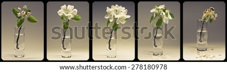apple blossom fades in a glass - stock photo