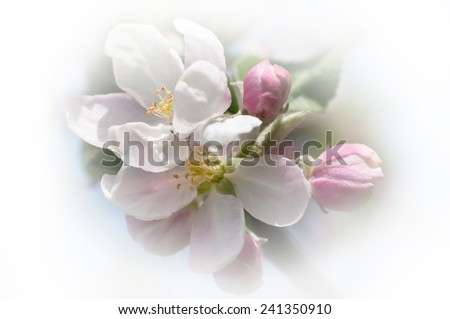 apple blossom in white