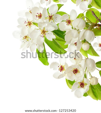 apple blossom isolated on white - stock photo