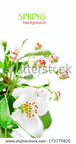 apple blossom isolated on white