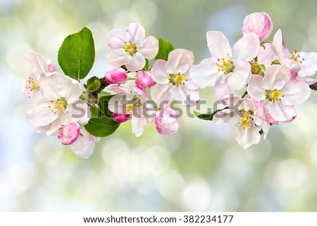 Apple blossom on defocused of natural background of blooming trees.