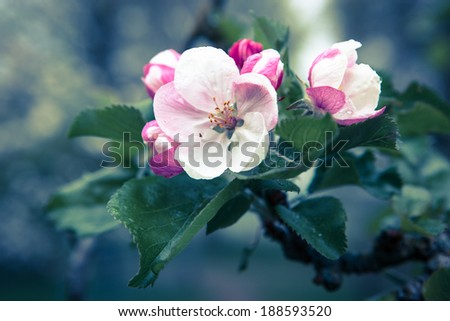 Apple blossom with morning dew - stock photo
