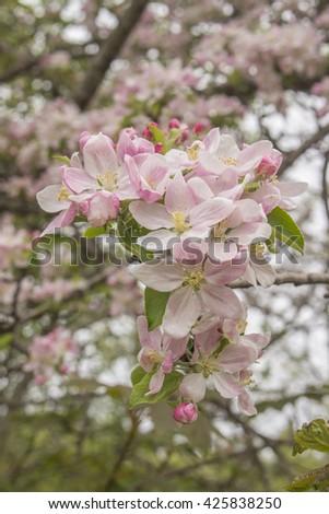 Apple Blossoms - stock photo