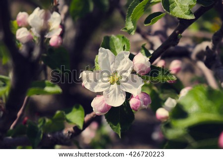 Apple Blossoms in an Orchard
