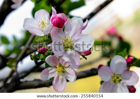Apple blossoms in springtime on natural background - stock photo