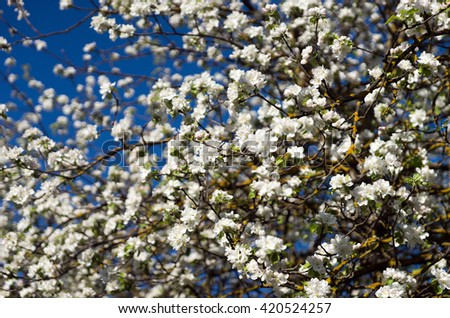 Apple blossoms on blue sky background soft focus