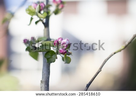 Apple blossoms on twig, spring awakening, Netherlands