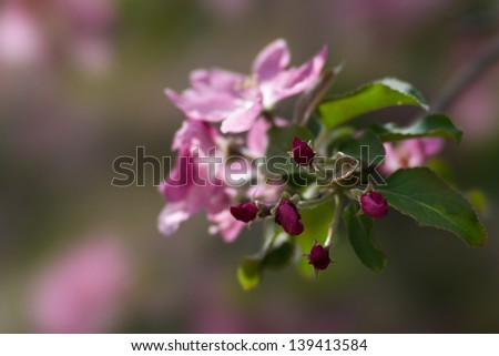 Apple buds of a deep purple color against blurry background