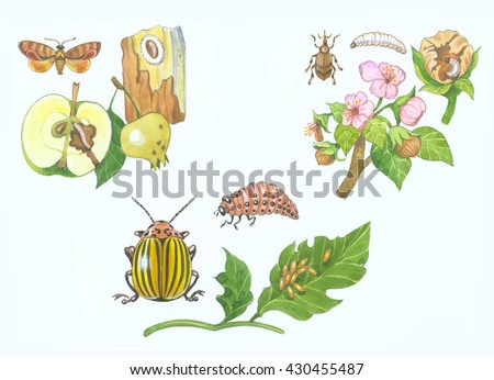 Apple Codling moth, Apple tree blossom weevil, Colorado potato beetle. Insect agricultural pest Cydia pomonella, Leptinotarsa decemlineata, Anthonomus pomorum. Butterfly, bug, larvae, Affected plants.