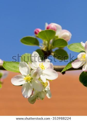 apple flower blossom   - stock photo