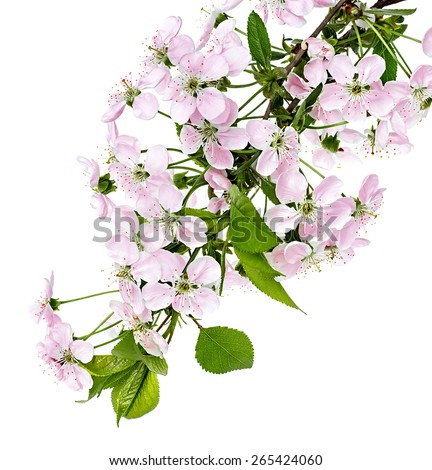 apple flowers branch isolated on a white background - stock photo