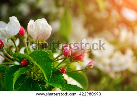 Apple flowers in spring blossom under soft sunlight- natural spring floral background. Apple tree in the spring garden. Selective focus at the central buds.  - stock photo