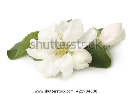 Apple flowers on white background   - stock photo
