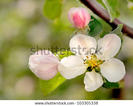 Apple flowers over natural green background - stock photo