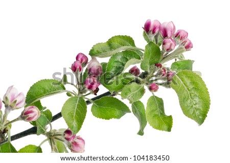 Apple flowers pink buds on spring branch isolated macro - stock photo